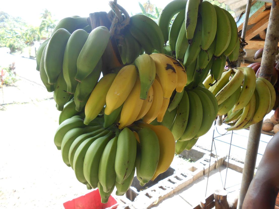 Bananas grenada 1