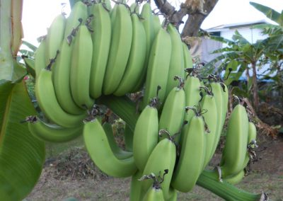 Green banana Tree Grenada (2)