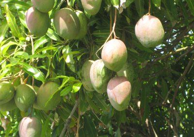 MANGO TREE 2