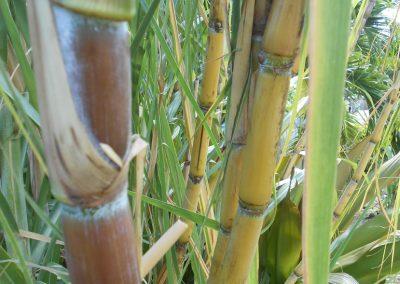 Sugar Cane Grenada (3)