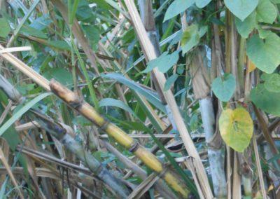 Sugar Cane Grenada