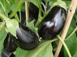 aubergine-eggplant-supported-with-canes